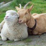 овце и кози