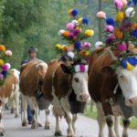 крави, швейцария