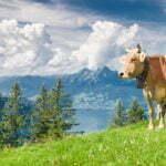 крава, швейцария