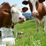 крави, мляко –