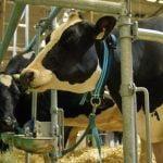 крави, вързани, обор