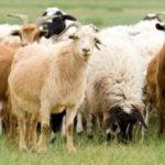 овце, кози