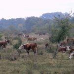 херефорд, крави